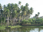 View of Coconut Trees